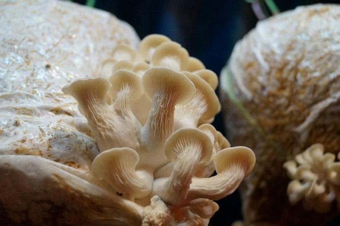 OYSTER MUSHROOM-meena kapahi